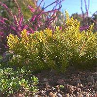 Как правильно сажать и ухаживать за растением эрика