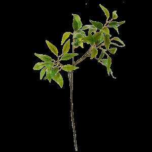 flowerdutchess-osmanthus-61cm