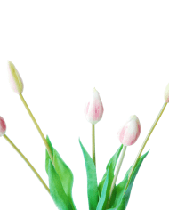 FlowerDutchess-tulips-white-fuchsia-bud-3