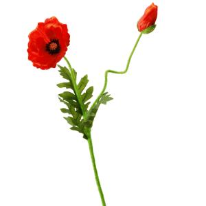 FlowerDutchess | klaproos met knop | 63cm | oranje
