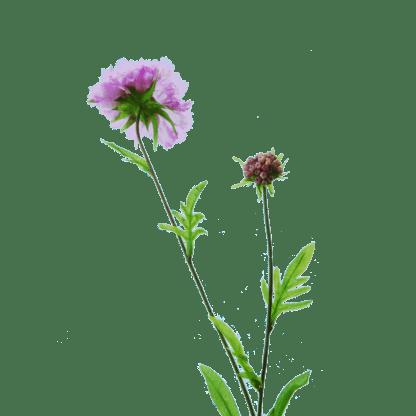 FlowerDutchess-Duifkruid-detail