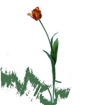 FlowerDutchess-Parkiet-tulp-rood-geel