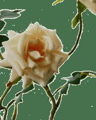 FlowerDutchess-rozentak-creme