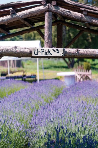 Many farms in Sequim, Washington, invite summer visitors to pick their own lavender bundles. | Photo © Georgianna Lane