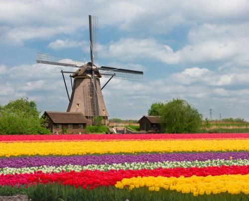 tulipomania