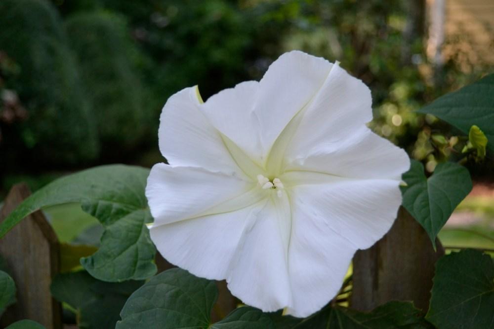 white fragrant flowers