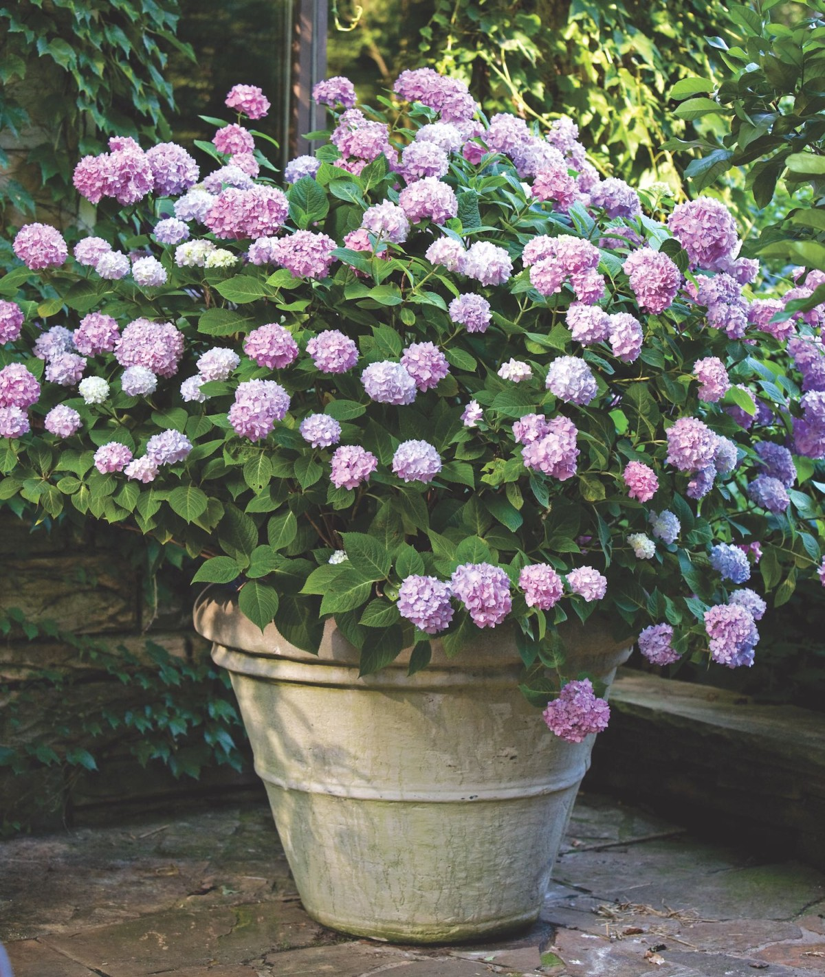 Hydrangea Flowers Brighten The Garden Flower Magazine