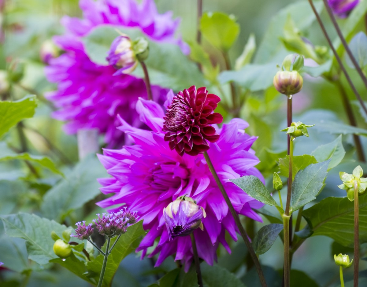 Dramatic Dahlia Flowers Flower Magazine
