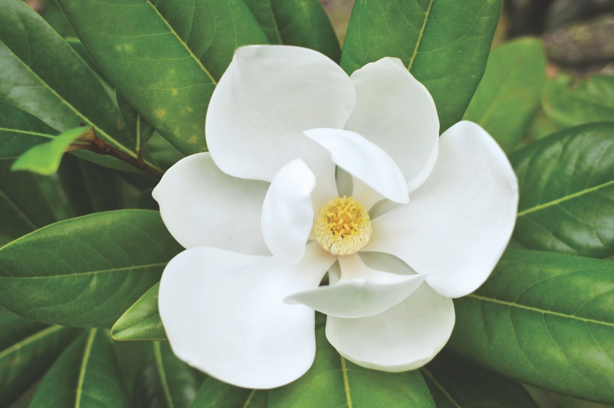 images for magnolia flowers