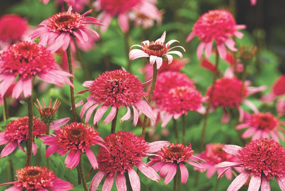 Coneflower Varieties Beyond The Purple Flower Magazine