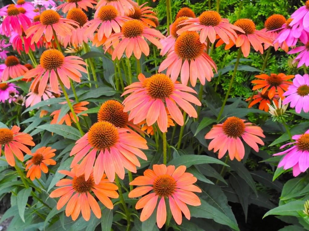coneflower varieties