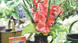 gladiolus flowers