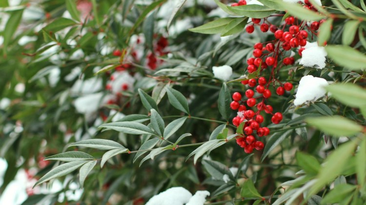 winter berries, nandina berries