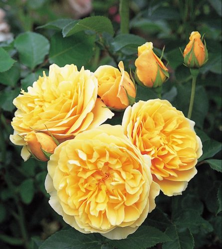 Graham Thomas rose, David Austin roses