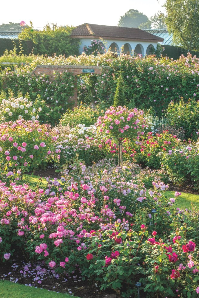 David Austin roses, Lion Garden