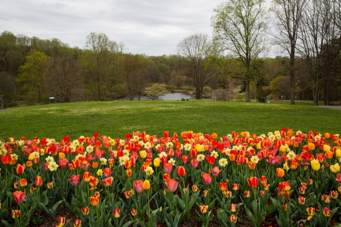 Photo of multi-colored tulips for 86th Historic Garden Week in Viriginia