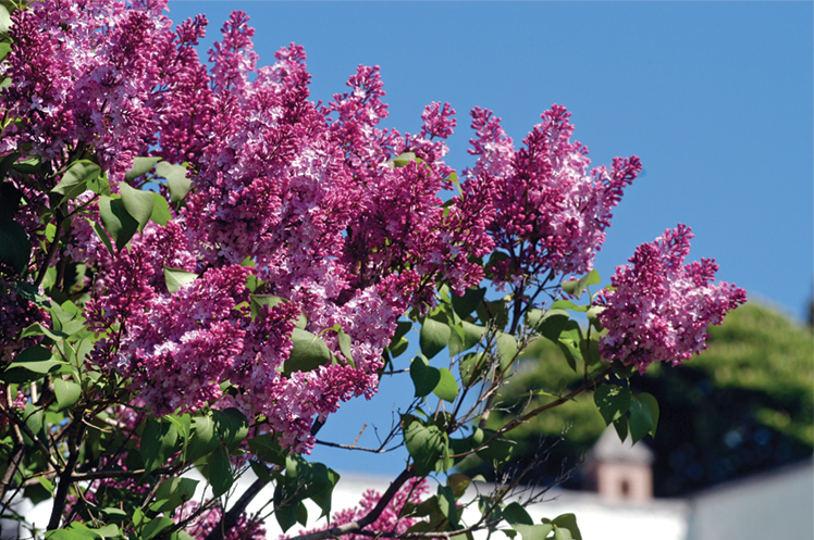 Lilac bushes in bloom on a blue-sky day in Mackinac Island