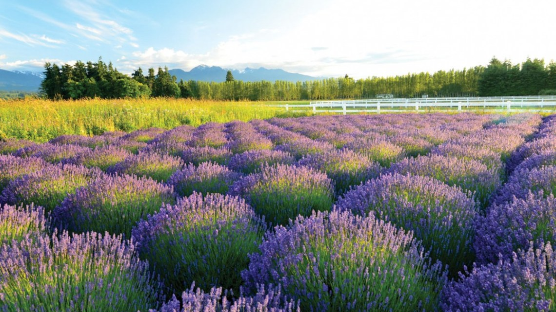 A field of lavender with blue skies and mountains in the background in Sequim, Washington