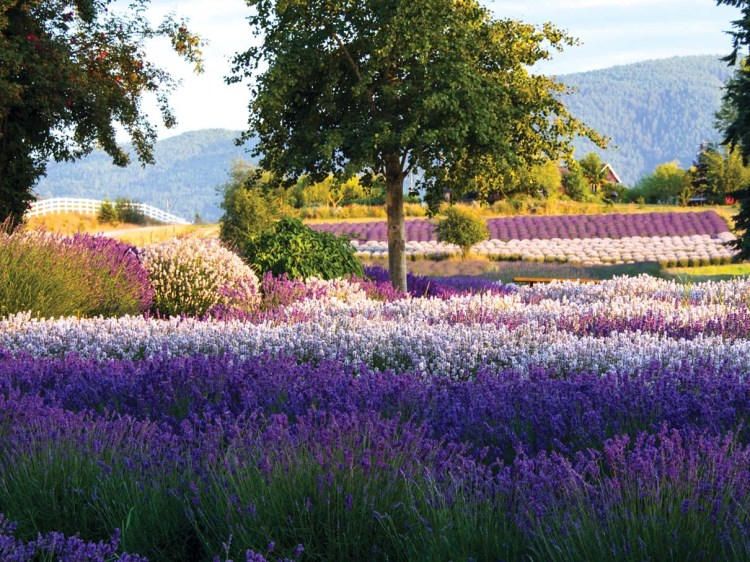 A field of various types of lavender abloom in a range of colors.