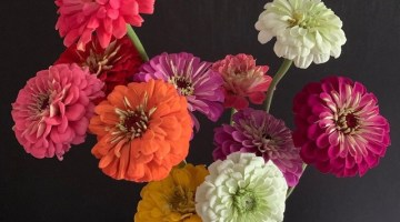 Zinnias in a variety of colors in a glass jar against a charcoal gray background