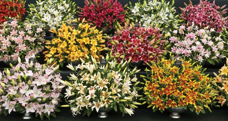A display of lilies of various shapes and colors, Chelsea Flower Show 2019