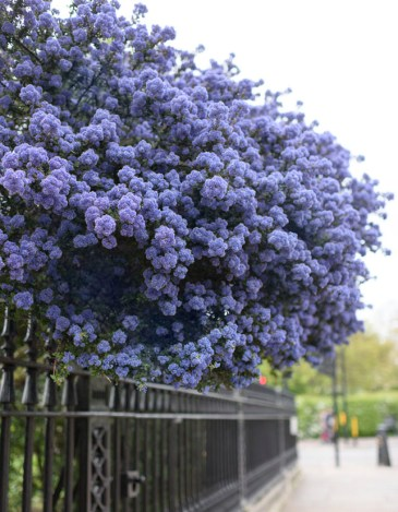 Lush purple flowers billow over a black wrougth-iron gate in a scene from the book London in Bloom