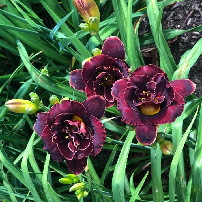 deep purple daylilies, almost black