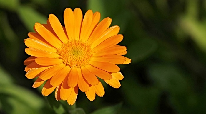 Marigold Flower     Meaning  Symbolism and Colors