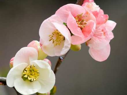 Garden Flowers   The Japanese Quince     thorny but beautiful    Flowerona Japanese Quince   Flickr