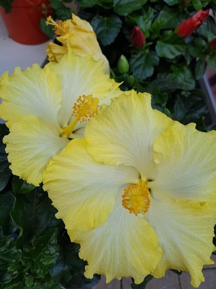 Hibiscus Gelb