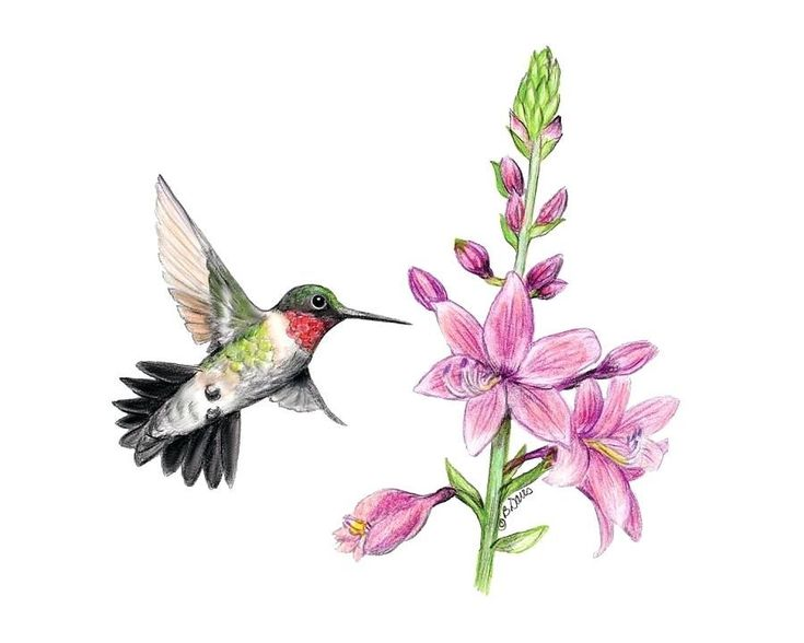 Flowers Drawings Inspiration   hummingbird and flower drawing     Flowers Drawings Inspiration
