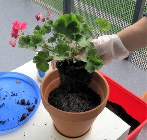 Transplantasi Pelargonia