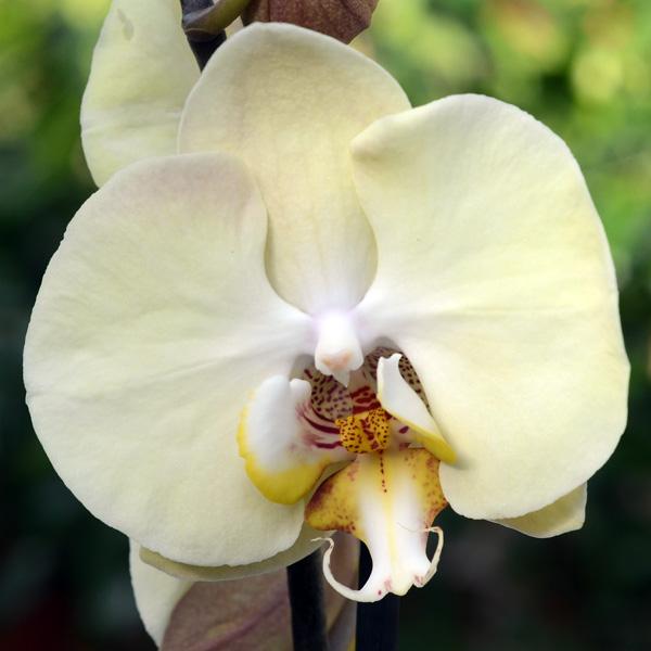 Flyenopsis hoa ảnh.