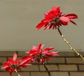 Three poinsettia bracts blazing red.