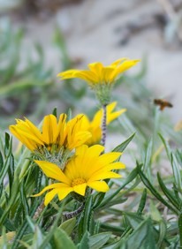 Seaside gazania (and out of focus bee).