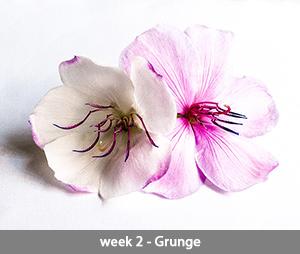 Tibouchina week 2