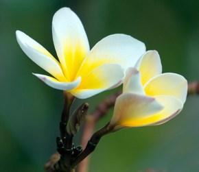 frangipani-plumeria