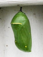 Monarch butterfly still inside the chrysalis
