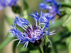 Blue Montana