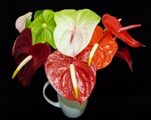 mixed anthuriums
