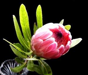 Protea Pink Mink (Each)
