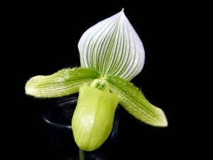 ORCHIDS-Paphiopedilum Lady Slipper Orchid Green