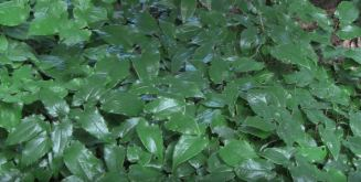fast growing ground cover