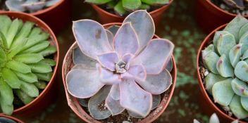 pink succulent plant