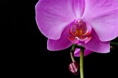 orchid varieties