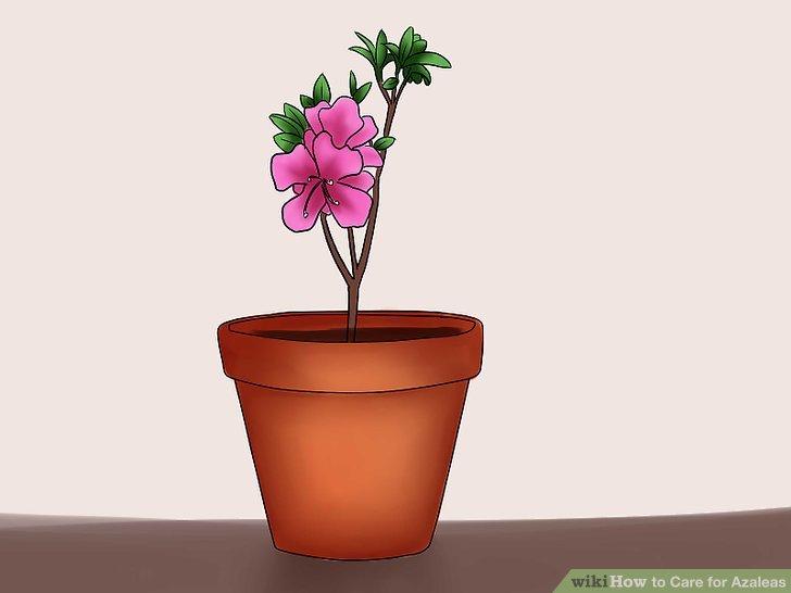 azalea-how-to-care-for