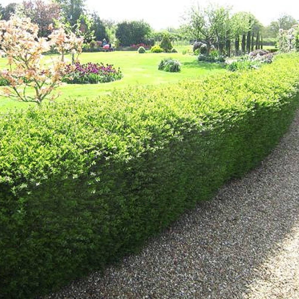 best-hedge-plants