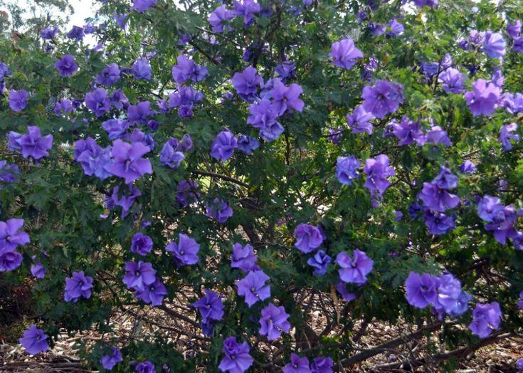 evergreen-hibiscus-varieties