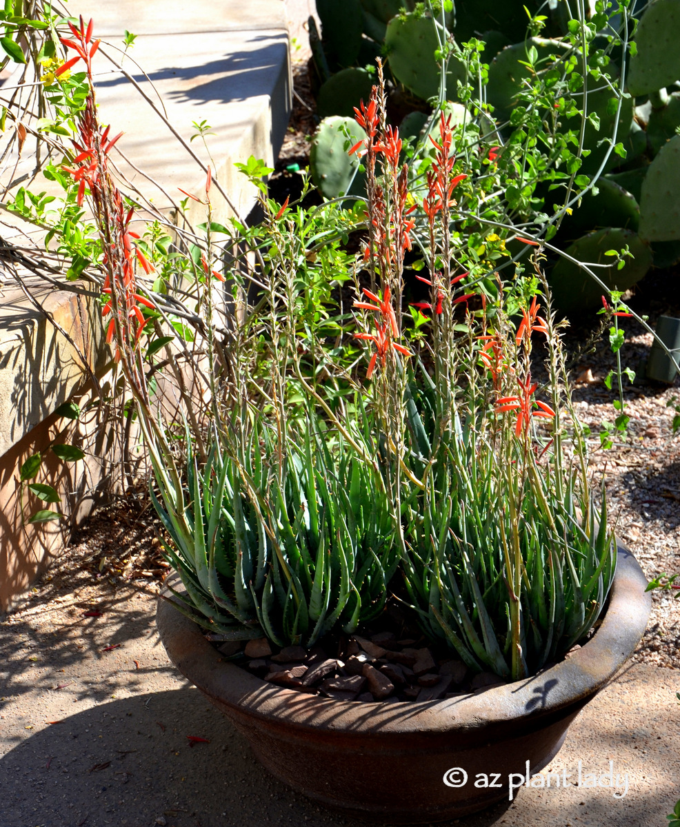 fertilizer-for-succulents