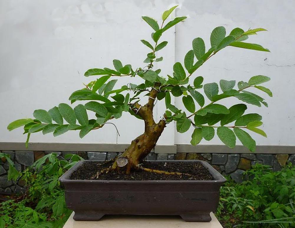 fruiting-bonsai